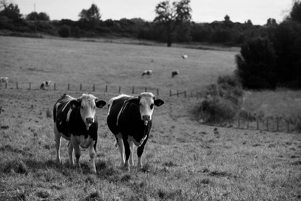 Banque d'images Sarthe : vaches dans le sud Sarthe